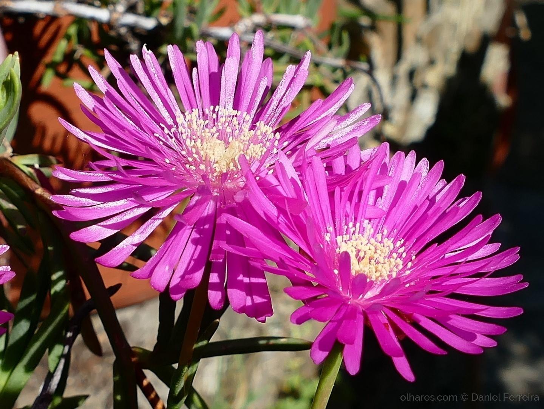 Macro/Flor de cáto