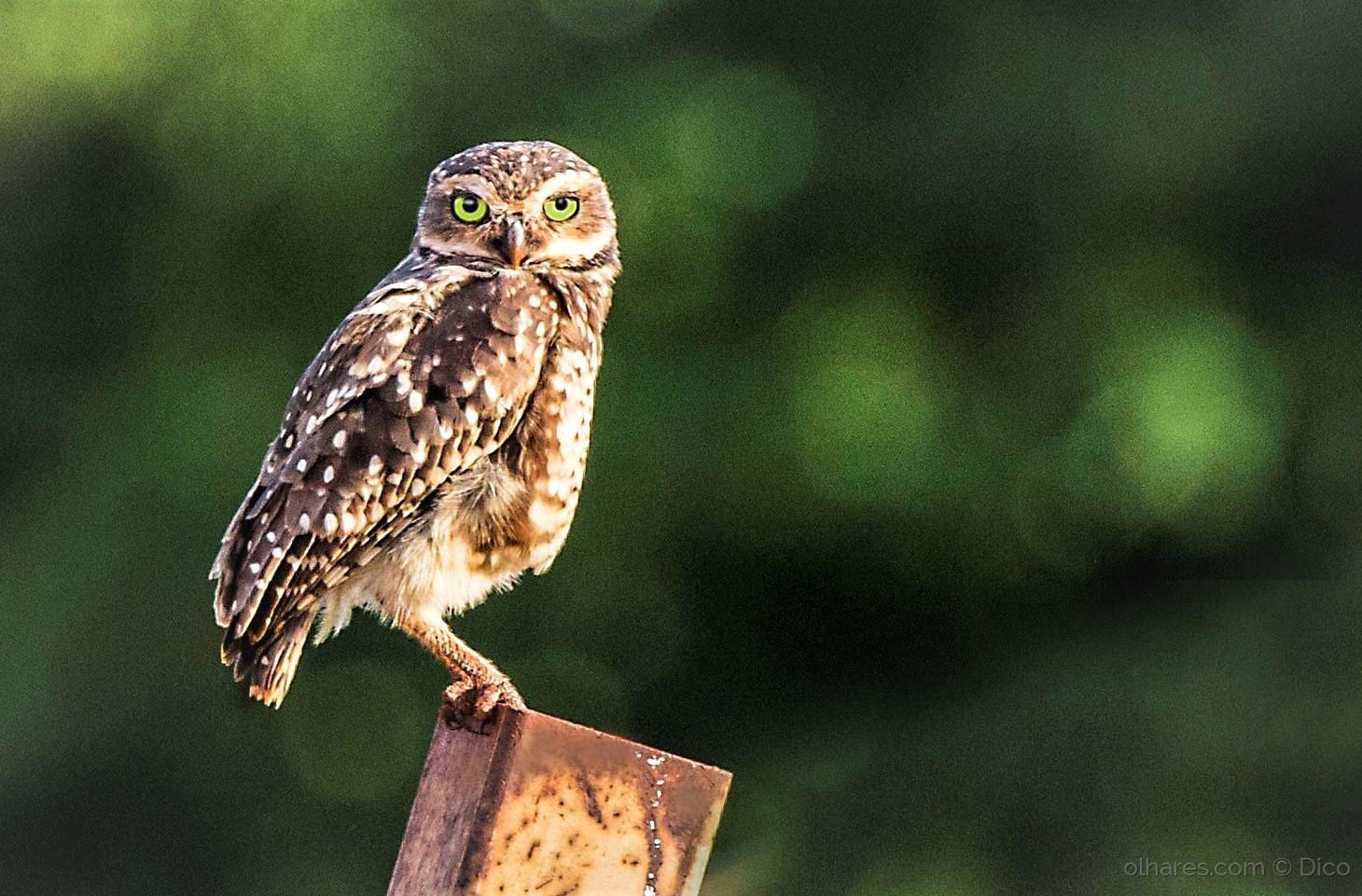 Paisagem Natural/Burrowing owl
