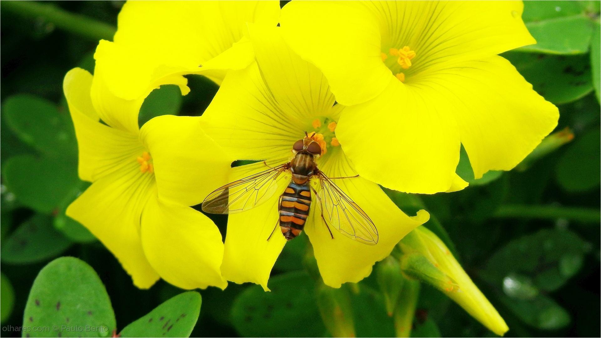 Animais/A colecta da mosca das flores...