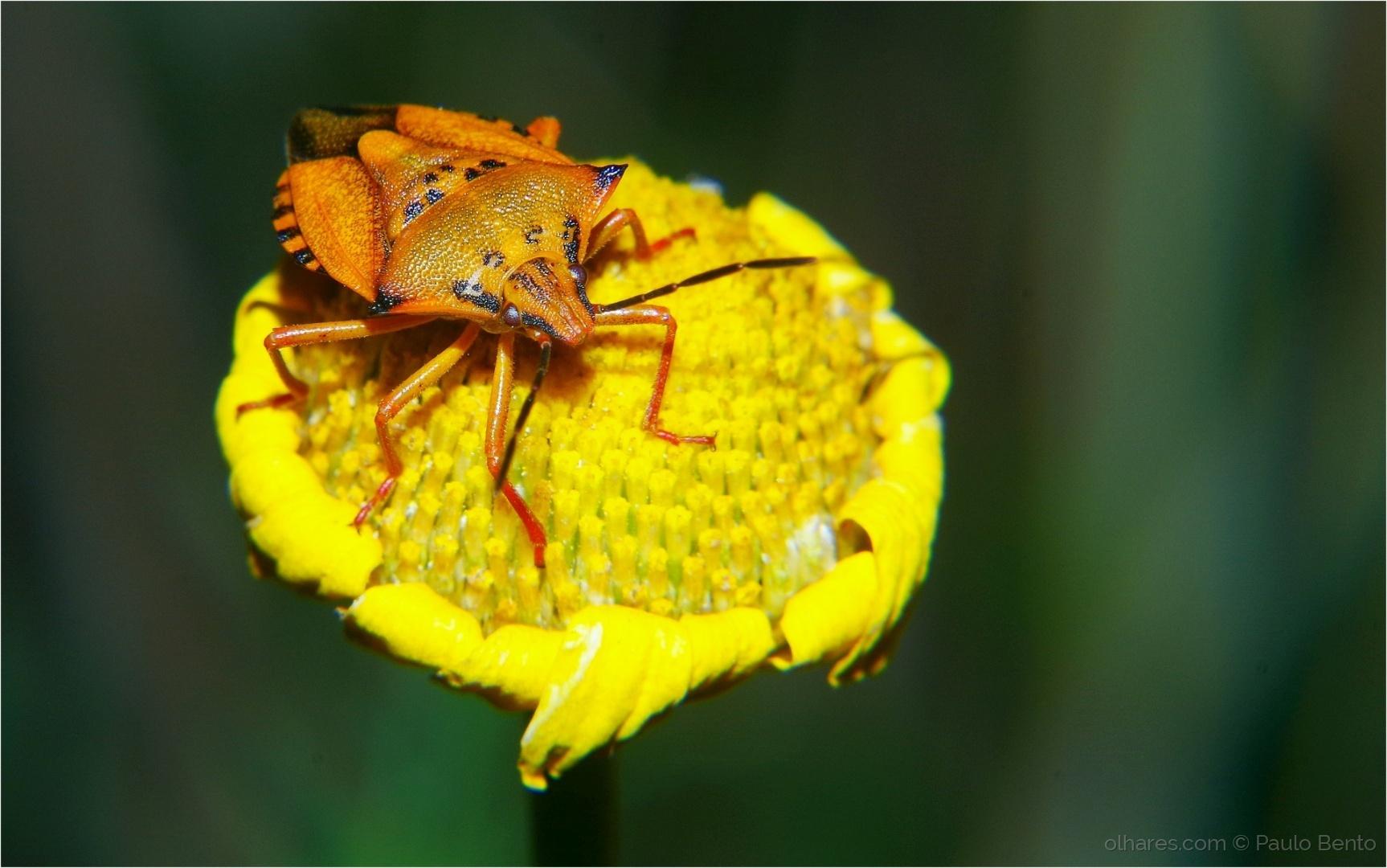 Animais/Pentatomidae e a velha flor...