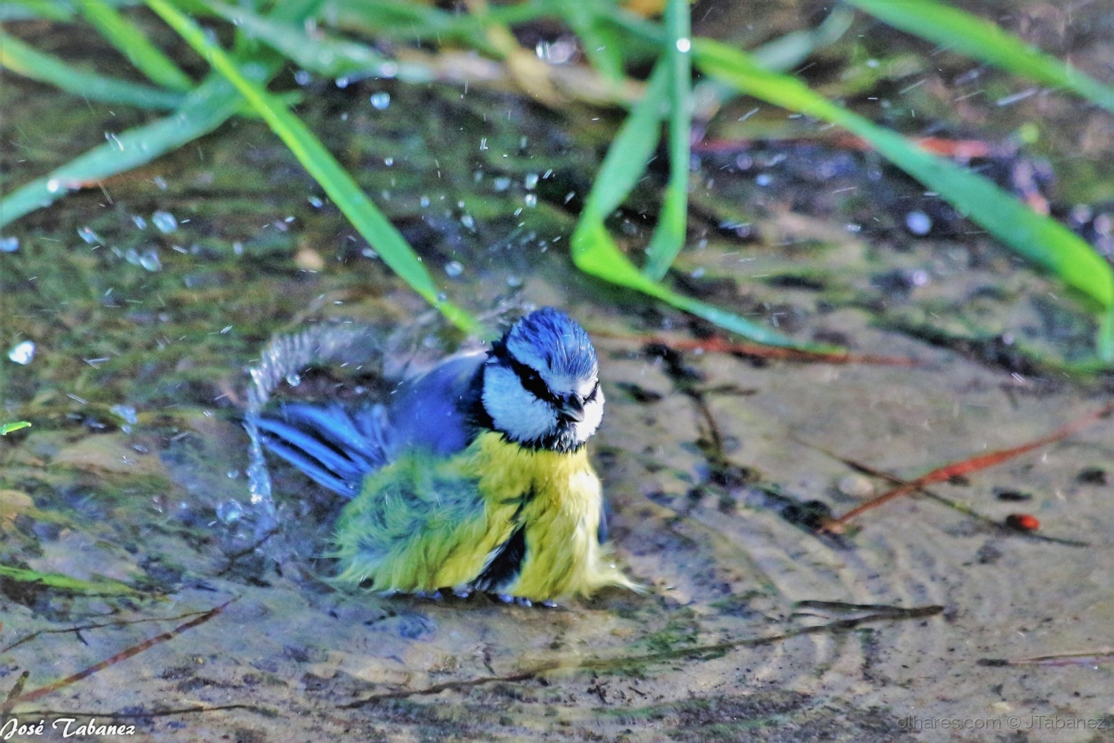 Animais/Chapim-azul no banho