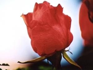 /Sao rosas meu senhor...