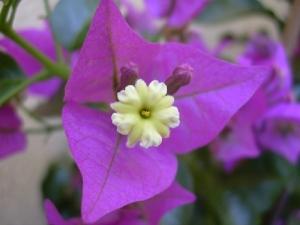 /flor de 3 bicos