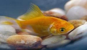 /My yellow fish