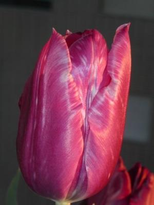 /Tulipa