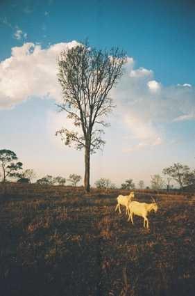 /Cabras ao por do sol