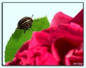 Animais/escaravelho