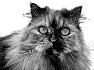 /Gato Persa