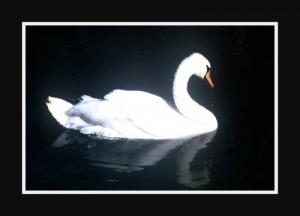 /Cisne Branco