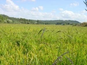 /Verdes são os campos...