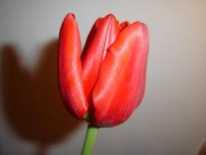 /A Tulipa