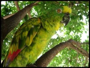 /O Papagaio do Arlindinho