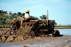 /Trabalho no arrozal ....