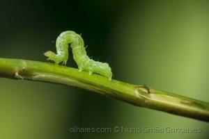 Macro/green caterpillar