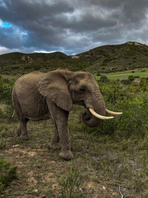 Animais/Elefante do Sul da África