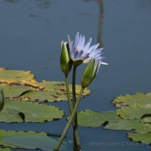 Paisagem Natural/Ninféias-flores aquáticas!