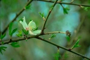 Paisagem Natural/Amendoeira em flor(1)