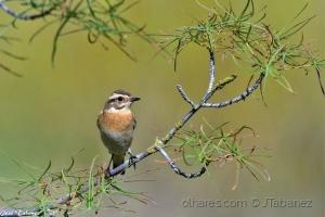 Animais/Cartaxo-nortenho (Saxicola rubetra)