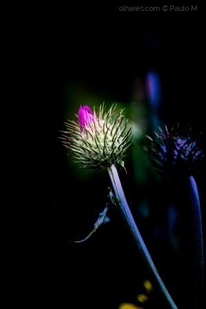 Macro/Flor do cardo
