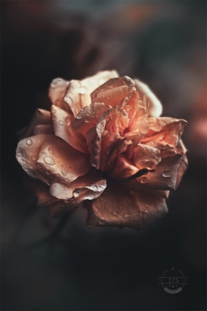 Macro/What was said to the rose that made it open was sa