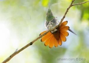 Paisagem Natural/Beija-flor-de-leque-canela