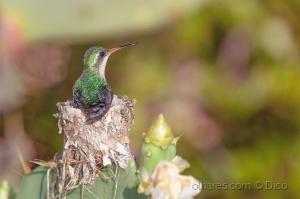 Paisagem Natural/hummingbird incubation