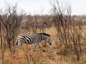 Animais/Zebras (Equus quagga) - Kruger Park, África do Su