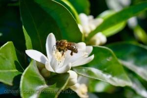 Macro/Flor de laranjeira