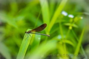 Macro/Calopteryx virgo