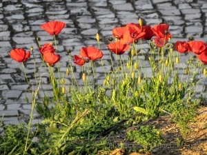 Outros/Red sidewalk poppies