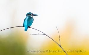 Animais/Guarda-rios Alcedo atthis