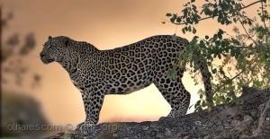 Animais/Leopardo (Panthera pardus)  ao por do sol