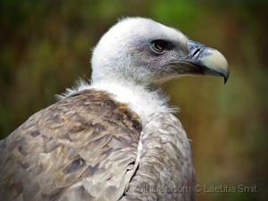 Animais/Vulture..