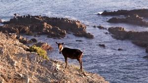 Animais/A cabra...