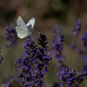 Macro/papillon sur lavande