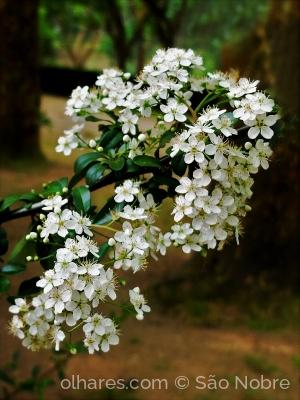 Macro/Flor Espinheiro branco