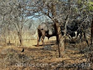 Animais/Búfalo africano e os estorninhos azuis