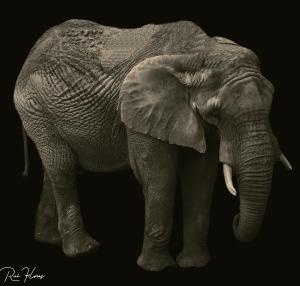 Animais/Elefante