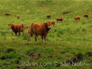 Animais/Vacas no prado verde.