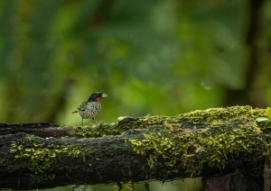 Animais/Rufous-throated tanager