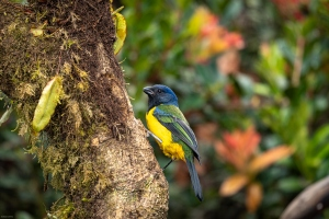 Animais/Moss-backed tanager