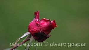 /Uma rosa para uma Rosa