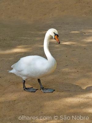 /O Cisne fora da água.