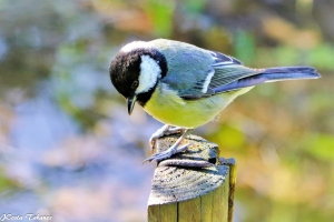 Animais/Chapim-real (Parus major)