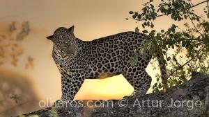 Animais/Leopardo (Panthera pardus)  - Kruger National Park