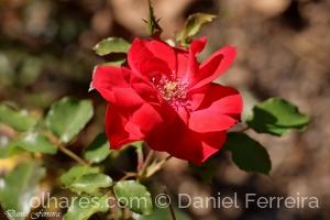 /Uma rosa do meu jardim