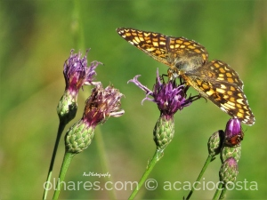 /natura: Melitaea phoebe occitania