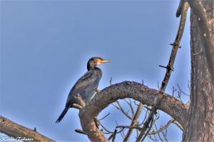 /Corvo-marinho-de-faces-brancas (Phalacrocorax carb