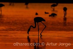 Animais/Flamingo (Phoenicopterus roseus) ao pôr do sol.