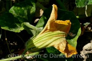 Macro/Flor de aboboreira